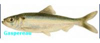 Gaspereau Fish