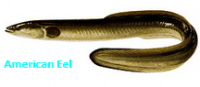 Daily Catch (American Eel Fish)