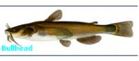 Bullhead  Fish