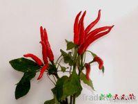 Ipomoea overturned spicy