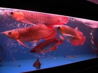 Top Quality Grade AAA Asian Arowana Fishes From Genuine Breeders Available On Sale Now