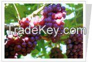 Grape Seeds P.E