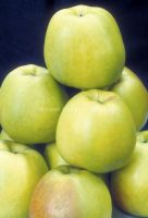 Fresh Golden Apple Delicious