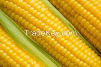 Fresh Corn Yellow Corn & Yellow Maize