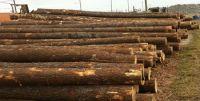 radiate pine logs yellow