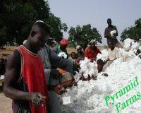 High Quality Raw Cotton