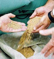 Wheat Grains at lower prices, High Quality Wheat Grain for both Feed and Human Consumption