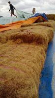 coconut fiber  young