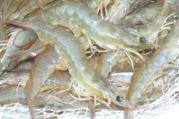 HOSO Vannamei Shrimp