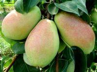 Fresh Pears, Pear
