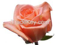 Fresh Cut Roses from Kenya