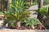 Cycad, Palm And Medicinal Plant Seeds