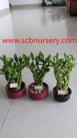 Lucky bamboo cage
