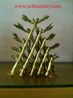 Lucky bamboo (triangle)