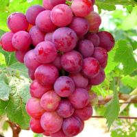 Recent year Fresh Grapes Fruits For Sale
