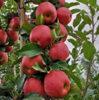 New Fresh Fruits Red FUJI Apples For Export