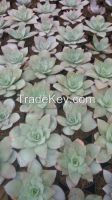 Echeveria Succulent and Cactus Indonesia