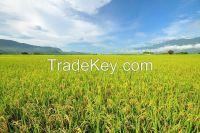 206 organic rice