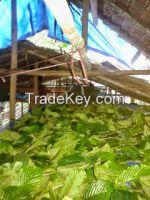 supplier Kratom Powder (Mitragyna Speciosa)