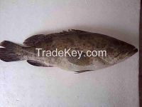 Grouper Good Size (400g-800g) and Grouper Fingerlings (1 inch -3 inches)
