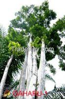 Aquilaria Malaccensis Trees in Sumatera, Indonesia