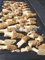 morel mushrooms, dried morel mushrooms for sale, dried morels, fresh morel mushrooms, spring morel, Morchella Conica, Boletus