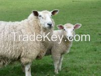 Livestock Quality Lamb