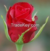 Fresh cut Flowers from Kenya