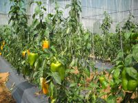 Green/Poly  House - Fresh Capsicum (Red, Green and Yellow)