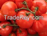 Fresh Tomatoes high quality for sale