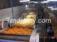 Fresh Egyptian Orange High quality for SaLe