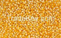 High quality yellow corn (maize) from Ukraine