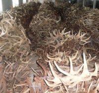 TOP GRADE NATURAL SHED WHOLE RED DEER ANTLERS - DEER ANTLERS