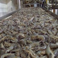 Fresh & Frozen Crystal Red Shrimp/ Frozen Black Tiger Shrimp at PERFECT QUALITY