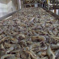 Frozen Black Tiger Shrimp at PERFECT QUALITY