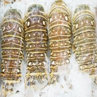 Frozen Lobster / Frozen Lobster Tails / Fresh Live Lobsters