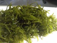suginori seaweeds dried