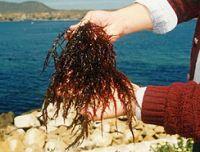 chicorea de mar seaweeds Dried