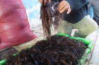 seaweeds Dried chicoria de mar