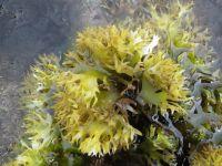 irish moss seaweed Dried