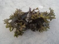 seaweed / irish moss / chondrus crispus / seamoss