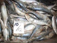 Sardine whole round