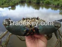 Live Mud Crab Scylla Serrata