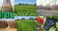 Fruit grafted trees, Seedlings, rootstock