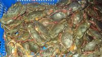 Live mud crab or frozen mud crab.
