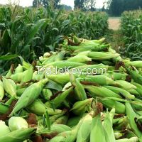 White Corn & Yellow Corn Maize For Sale for Animal & Human consumption