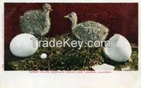 Ostriched and Ostrich Products