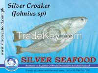 Silver Croaker,Johnius Sp