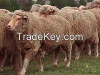 GEORGIAN SEMIFINEWOOL FAT-TAILED SHEEP