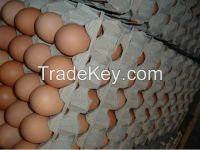 Fresh and Fertile chicken eggs